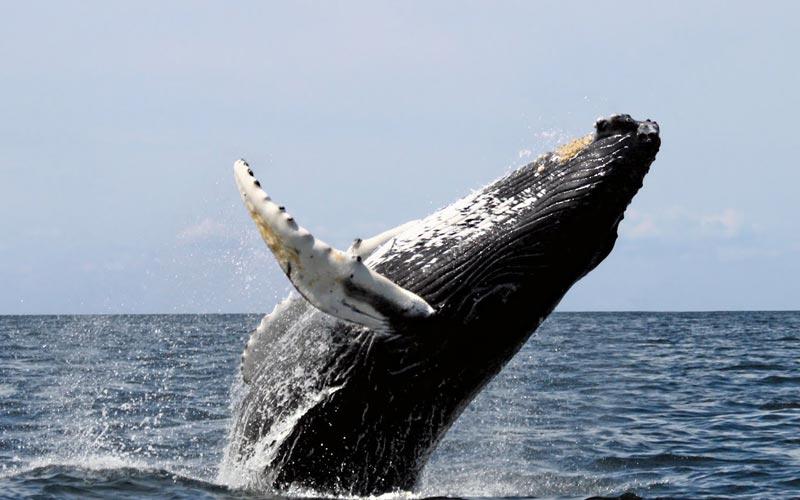 Baleias em Arraial d'Ajuda: quando agosto chegar