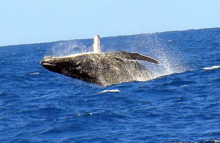 Agosto é tempo de baleias Jubarte em Porto seguro